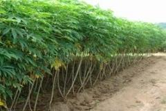 WN-Cassava-farm
