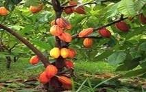 WN-Cocoa-plant