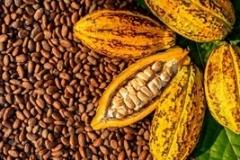 WN-cocoa-seed