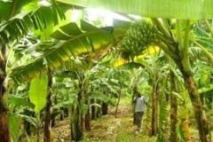 WN-plantain-farm